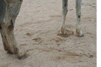 front hoof makes a hole in the sand