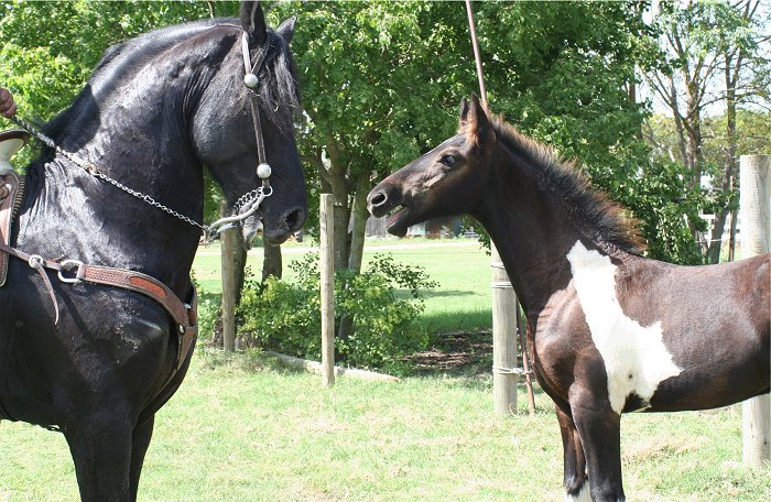 baby horse greeting a stallion