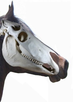 horse teeth in skull