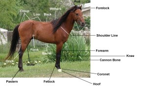 Quick Anatomy of a Horse