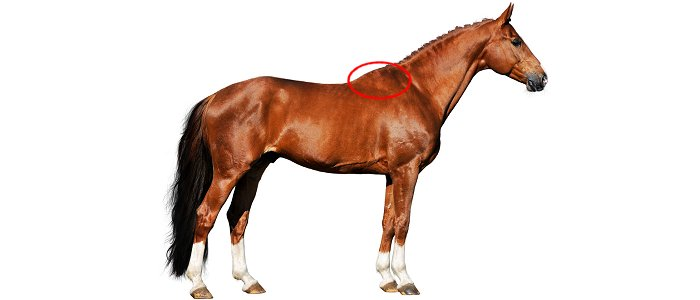 The location of a horse's withers