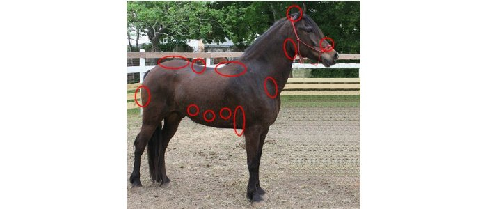 The areas on a horse that a rider can use to direct the horse's movements