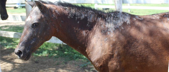 pony with severe rainscald and infection