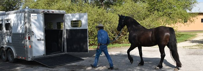 Reign loading in a horse trailer
