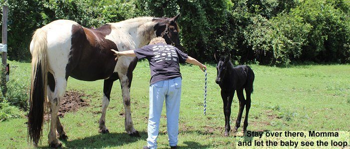 Teach your newborn foal how to give to pressure from the very beginning