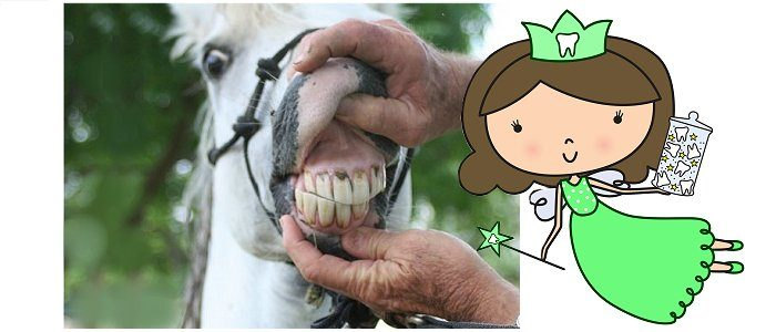 The horse tooth fairy visits