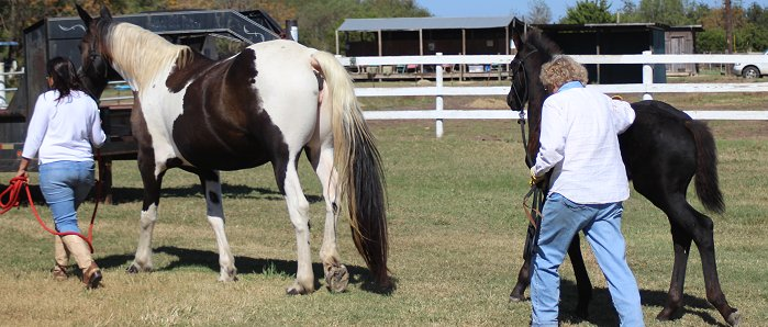 colt being trained to use a halter