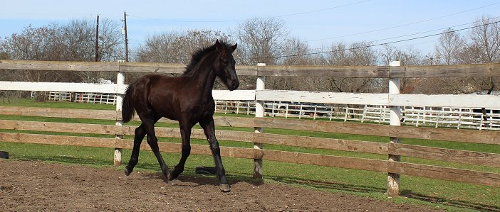 5 month old friesian colt