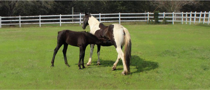 nursing foal with dam