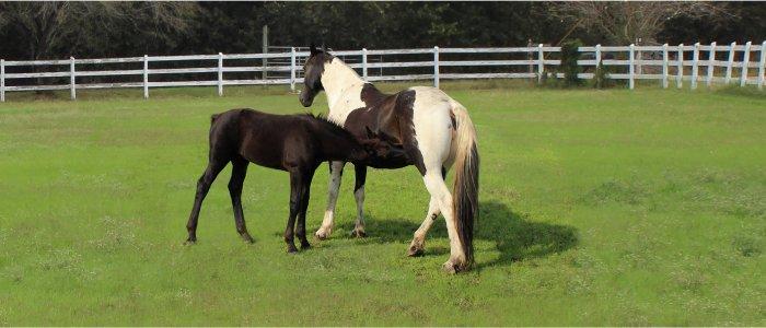nursing foal with dam