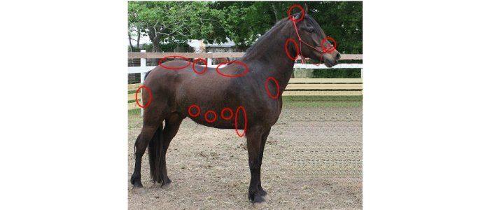 Anatomy Horse Pros
